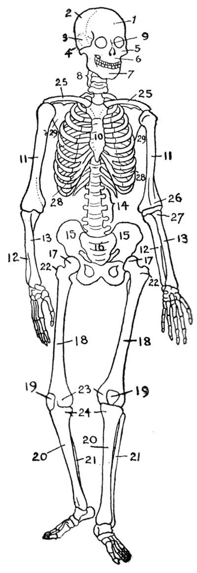 classification of Bones Of Body