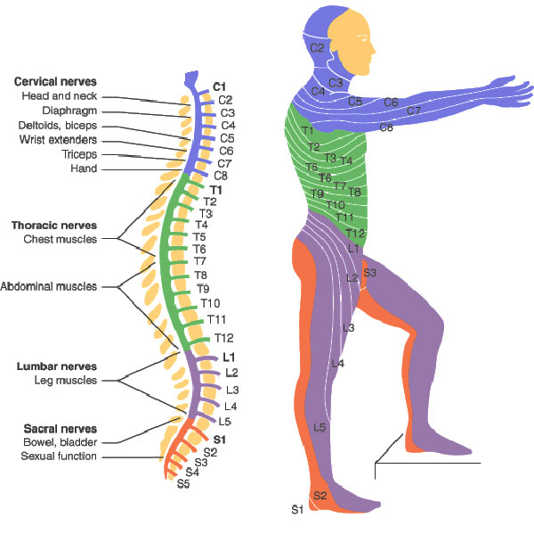 Spinal cord injury levels bone and spine sciox Images