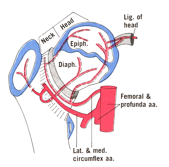 Diagram of vascular supply of femoral head and neck