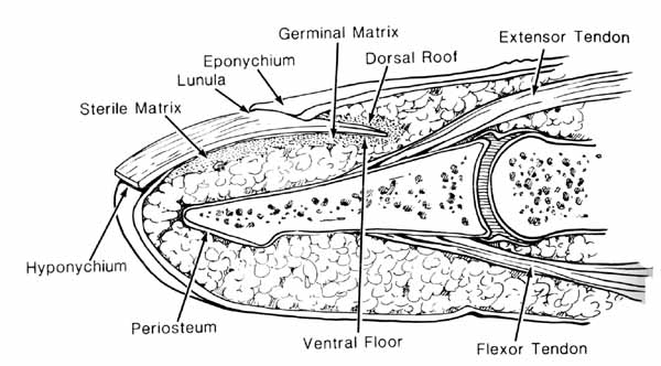 Antatomy  of Nail