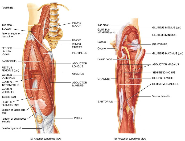 Muscles of Hip and Thigh