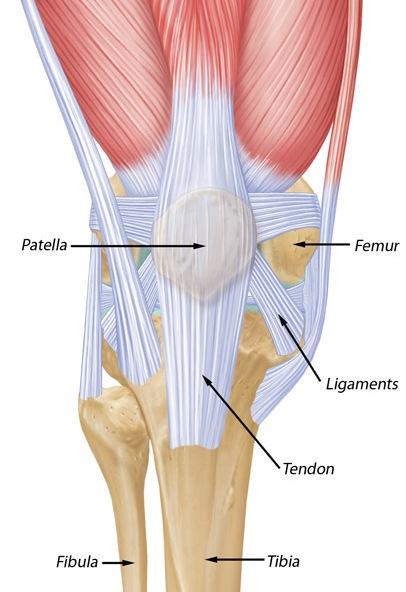Anatomy of Patella | Bone and Spine