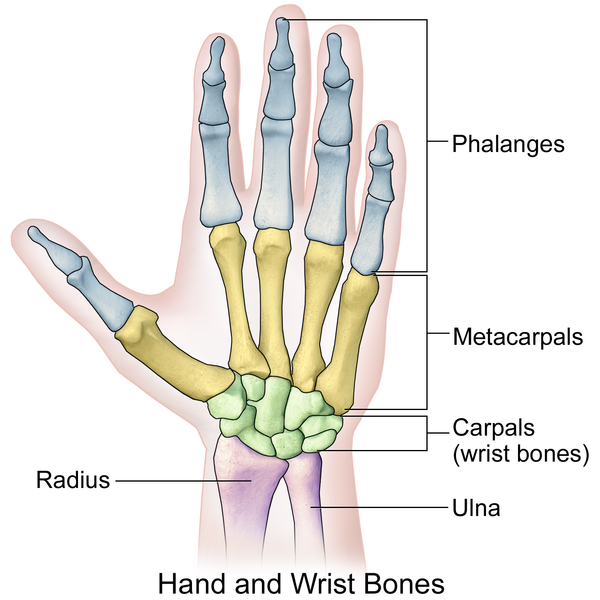 Anatomy wrist bones 289424 - follow4more.info