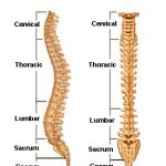 a diagram of spine