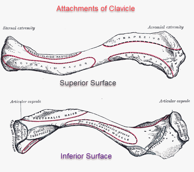 clavicle or collarbone aantomy and attachments bone and Clavicle Bones Diagram collar bone diagram schematics online