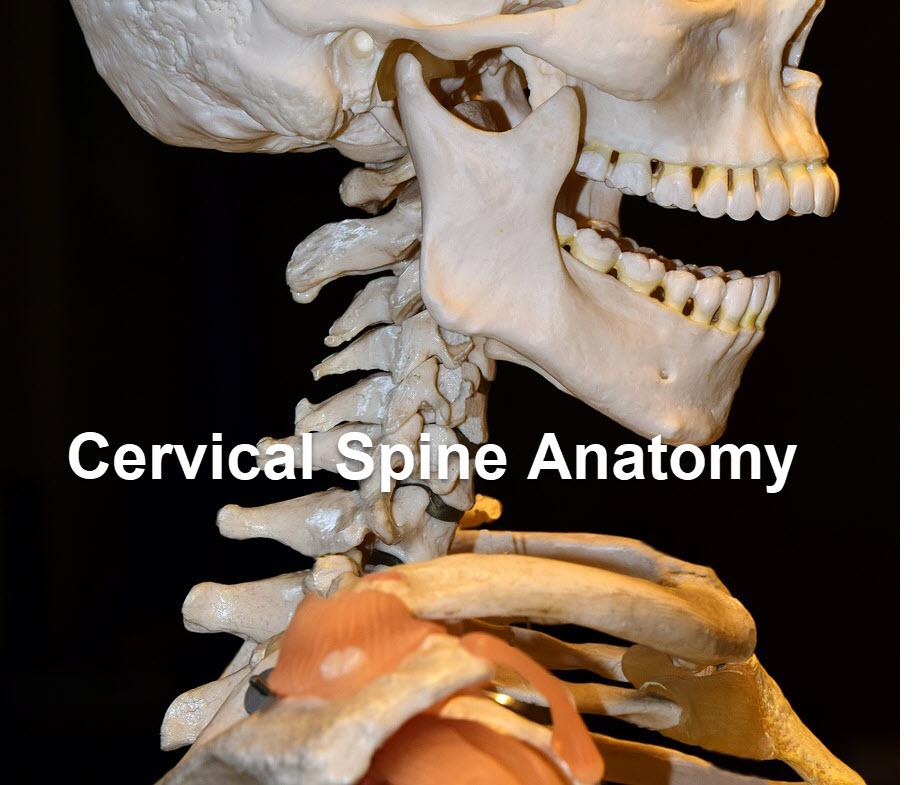 Anatomy Of Cervical Spine Bone And Spine