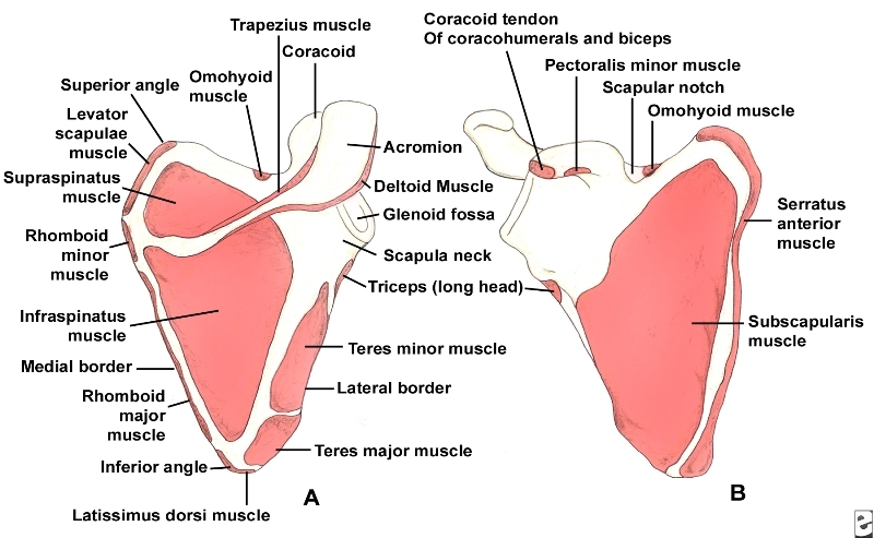 Muscles of scapula