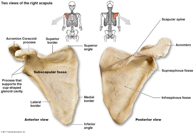 Dorsal costal surfaces of scapula bone