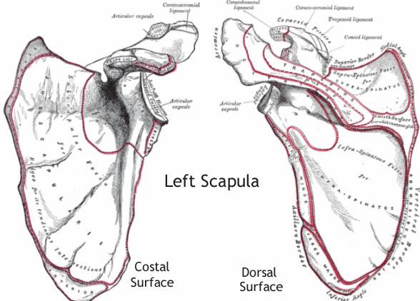 scapula anatomy