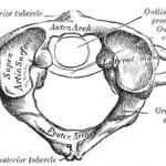 atlas vertebra