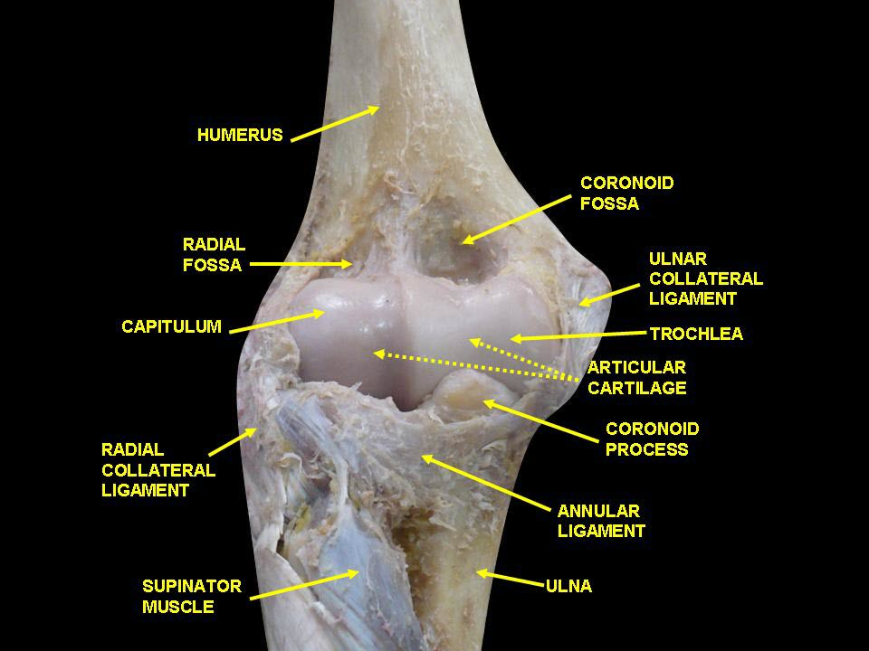 Anterior Glimpse of Humerus Lower End