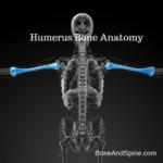 Humerus bone diagram
