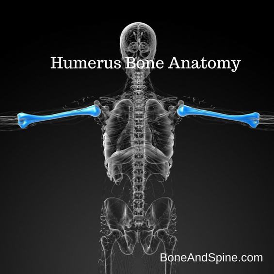 Humerus bone diagram