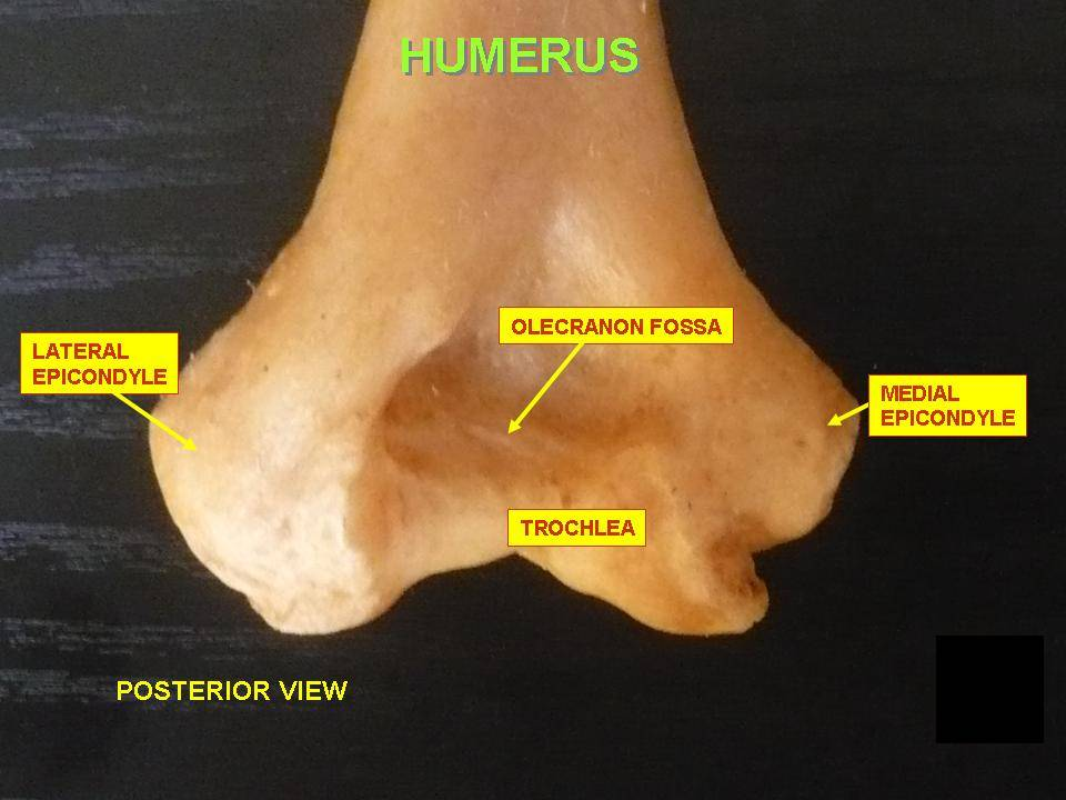 Posterior view lower end humerus bone
