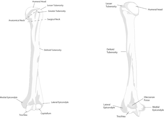 humerus bone anatomy  attachments and side determination