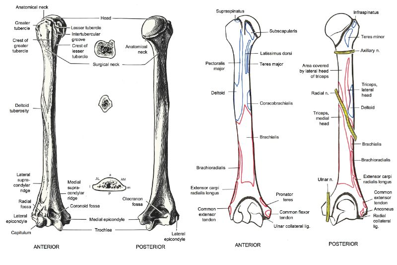 image of humerus bone