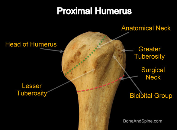 proximal humerus bone