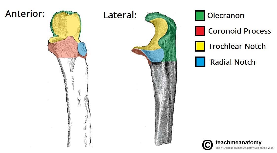 Ulna Anatomy And Significance