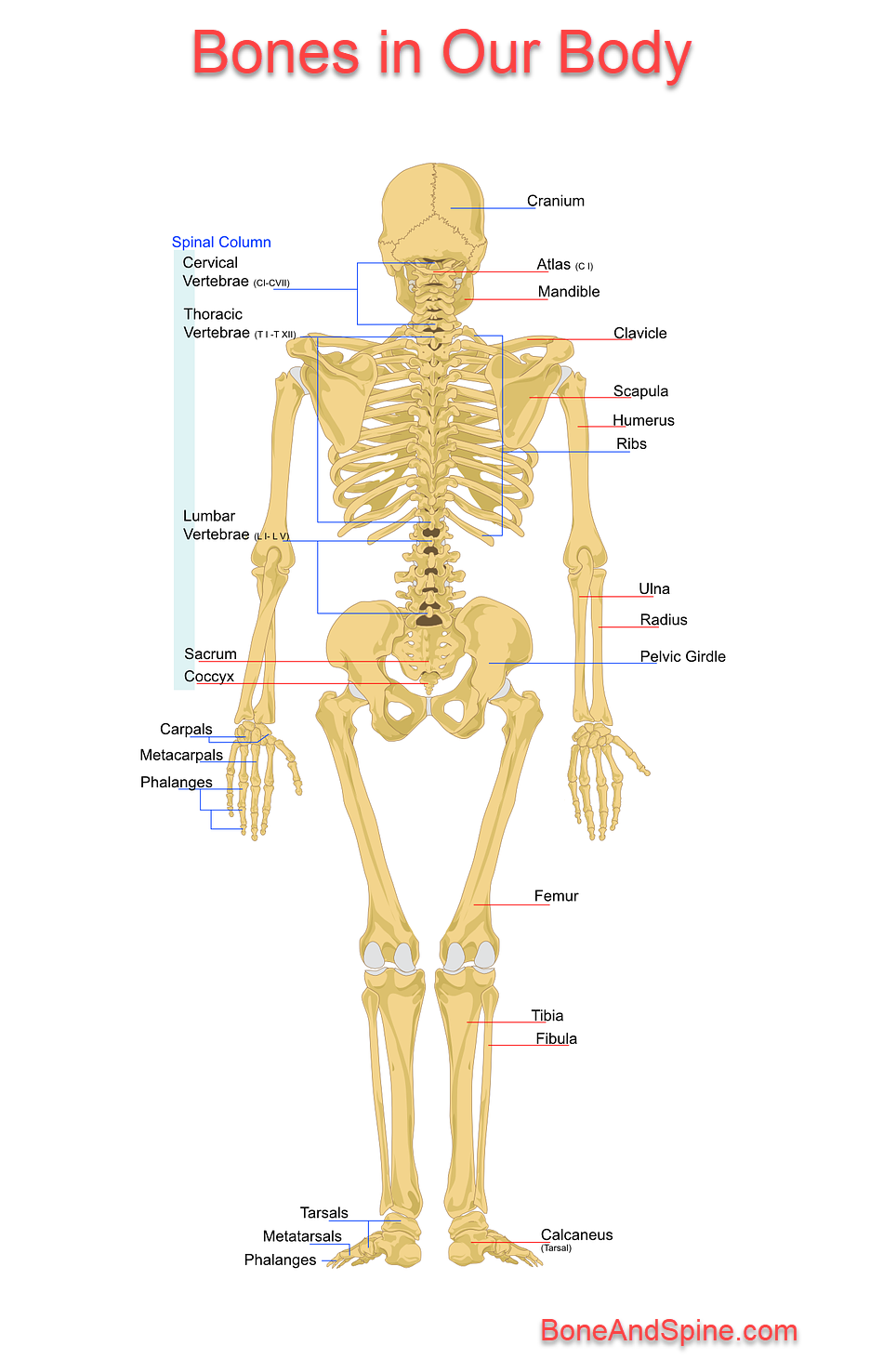 Different Types Of Bones In Body And Their Function Bone