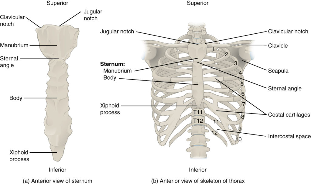 sternum bone and thoracic cage