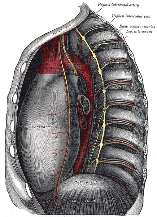 Anatomy Of Thoracic Cage Bone And Spine