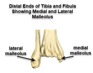 medial malleolus and lateral malleolus