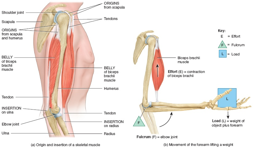 Example of muscle function