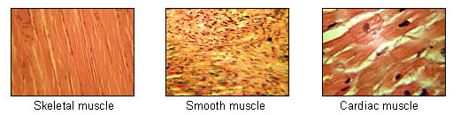 Types of muscles and their functions bone and spine ccuart Choice Image