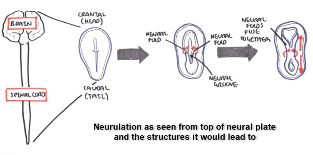 formation of neural tube