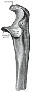 Anatomy of Coronoid Process of Ulna