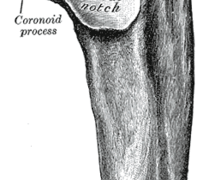 Anatomy of Coronoid Process of Ulna. Click to enlarge