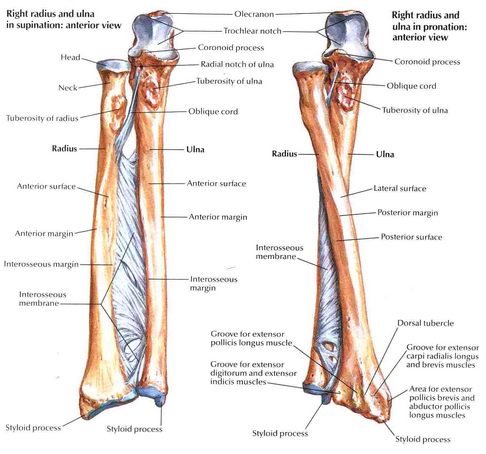 Radius and Ulna Image