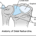 Anatomy of Distal radius