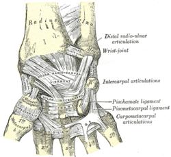 distal-radius1