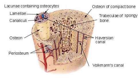 What Is Osteon Bone And Spine
