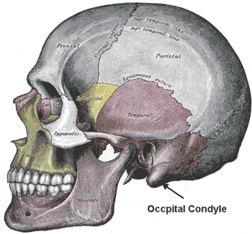 occipital-condyles1