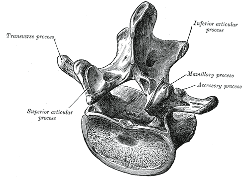pars-interarticularis pngLumbar Vertebrae Labeled