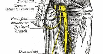 piriformis-sciatic-nerve-anatomy