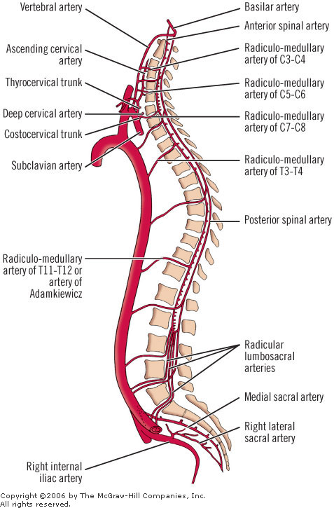 blood-supply-of-spinal-cord