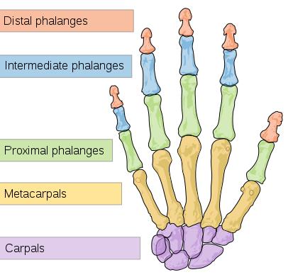 phalanges and metacarpals