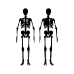 skeleton showing joints in body