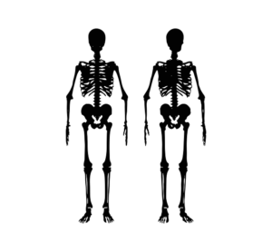 skeleton showing joints and bones in human body