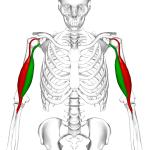 bicipital tendonitis relevant anatomy