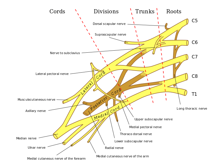 Long Thoracic Nerve Anatomy And Significance Bone And Spine