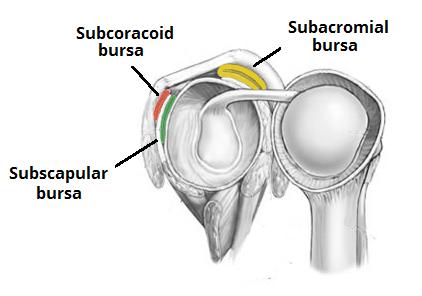 Bursae of Shoulder Joint