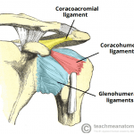 Ligaments of shoulder joint