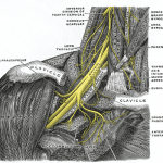 Suprascapular nerve arising from brachial plexus, Public domainimage