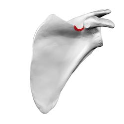suprascapular notch