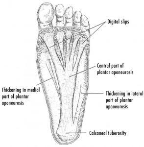 plantar Fascia Anatomy