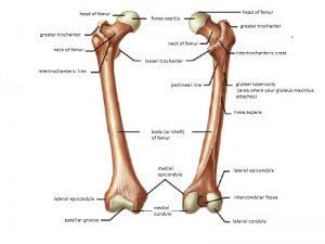 femur bone anatomy form proximal femur fractures